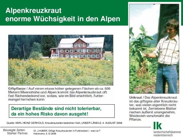 DI. J.HUMER, Giftige Kreuzkrautarten in Futterwiesen – was tun? Hohenems, 5.12.2009 Alpenkreuzkraut enorme Wüchsigkeit in ...