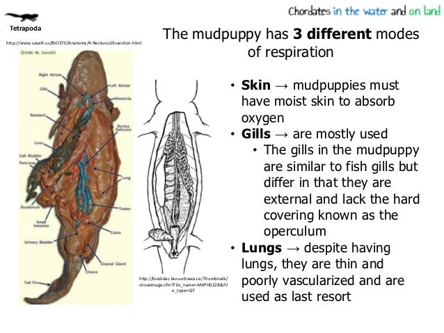 Mudpuppy internal anatomy
