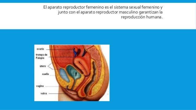 El aparato reproductor femenino es el sistema sexual femenino y junto con el aparato reproductor masculino garantizan la r...