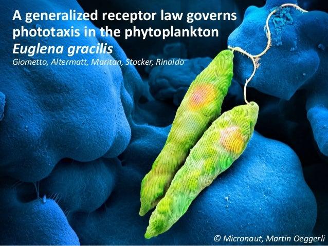 A generalized receptor law governs phototaxis in the phytoplankton Euglena gracilis Giometto, Altermatt, Maritan, Stocker,...