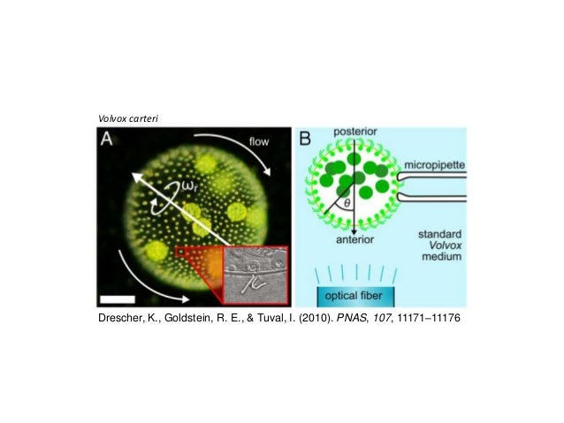 phototaxis in euglena gracilis We found that the transient freezing behavior in photophobic responses of euglena gracilis is a good indicator of the metabolic status of the cells  phototaxis of .