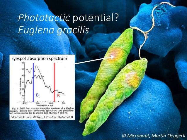 phototaxis in euglena gracilis Biological microswimmers exhibit versatile strategies for sensing and navigating their environment, eg, run-and-tumble and curvature modulation here we report a striking behavior of.