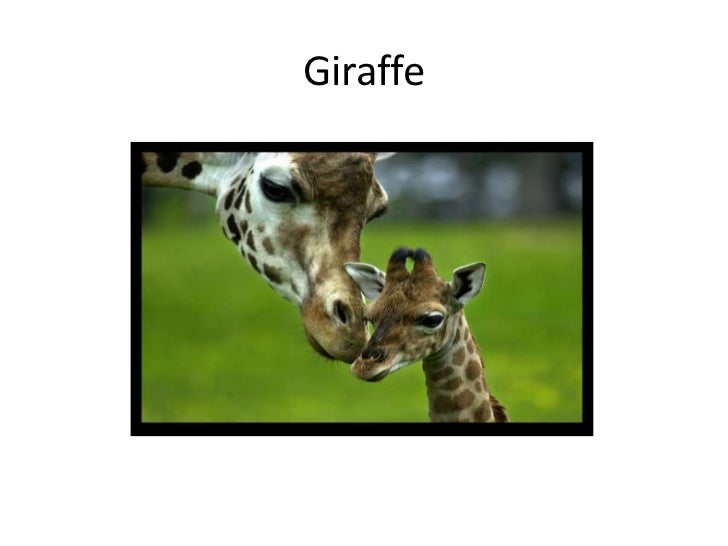 Giraffe<br />