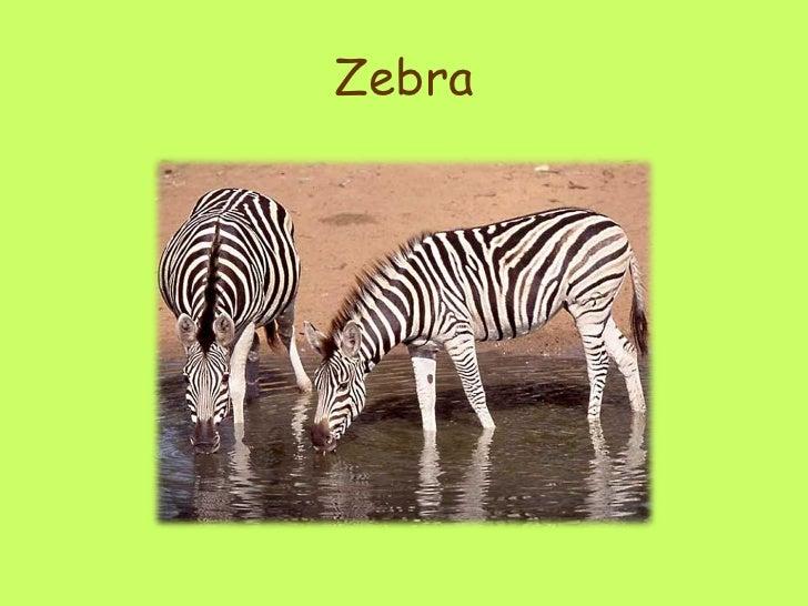 Giraffes ppt zebra 15 toneelgroepblik Image collections