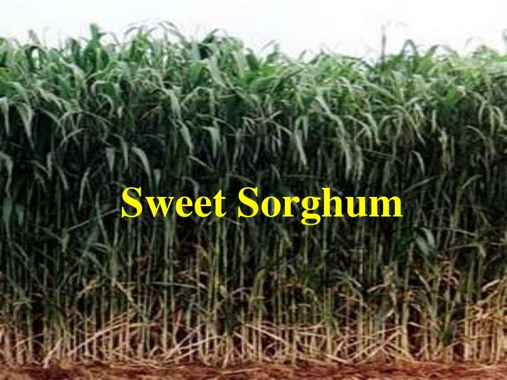 sweet sorghum thesis Sorghum grain ranks 5th in cereals for global production (see cereal statistics) sorghum is a genus with many species and subspecies, and there are several types of sorghum, including grain sorghums, grass sorghums (for pasture and hay), sweet sorghums (for syrups), and broomcorn.