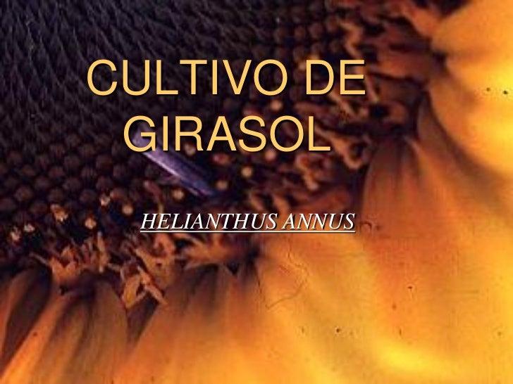 CULTIVO DE GIRASOL HELIANTHUS ANNUS