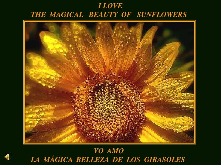 I LOVE<br />THE  MAGICAL   BEAUTY  OF   SUNFLOWERS<br />YO  AMO<br />LA  MÁGICA  BELLEZA  DE  LOS  GIRASOLES<br />