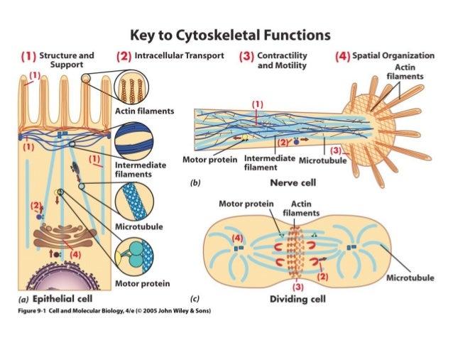 Cytoskeleton ccuart Gallery