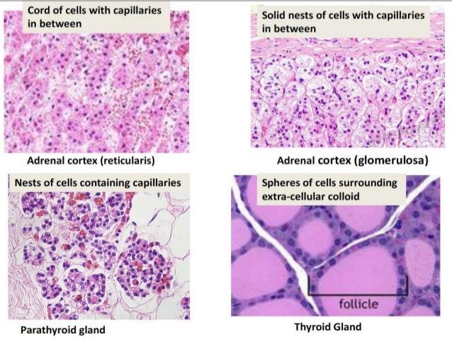 Glands Histology