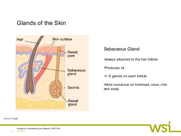 3/1/2013Academy of Hairdressing and Beauty TAFE WSI0Glands of the SkinSebaceous Gland•always attached to the hair follicle...