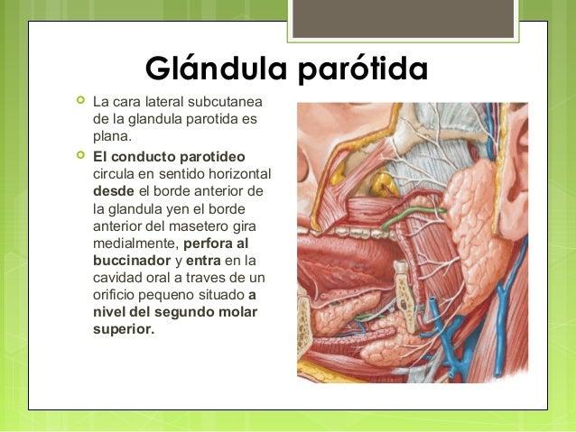 Glandula parotida 5 1