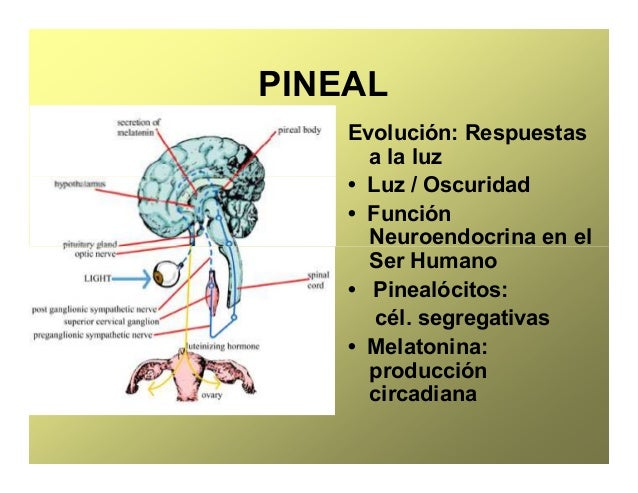 Excepcional Función De La Glándula Pineal Festooning - Anatomía de ...