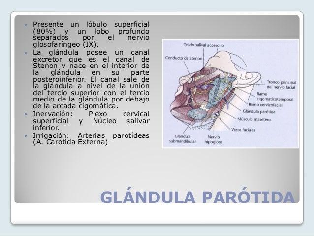 ANATOMIA Y FISIOLOGIA SABATINO Y NOCTURNO: Glándulas Anexs