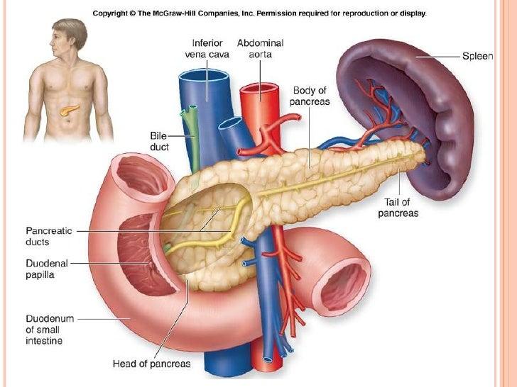 Contemporáneo Hígado Y El Bazo Anatomía Embellecimiento - Anatomía ...