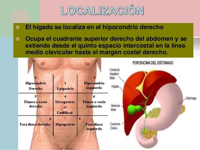 Glandulas anexas higado via biliar y pancreas for En k parte del cuerpo esta el higado