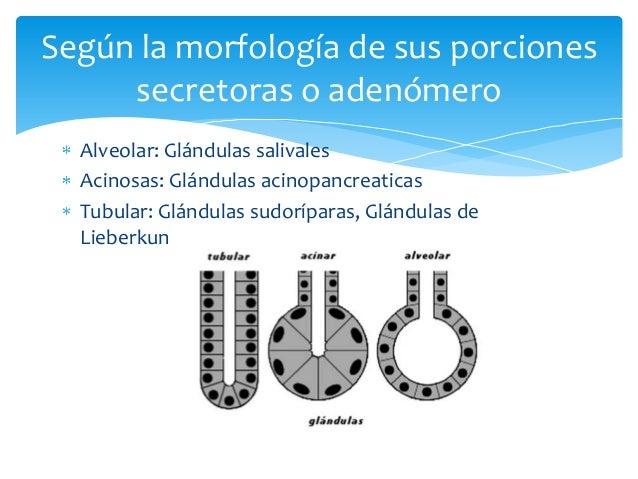 Alveolar: Glándulas salivalesAcinosas: Glándulas acinopancreaticasTubular: Glándulas sudoríparas, Glándulas deLieberkunSeg...
