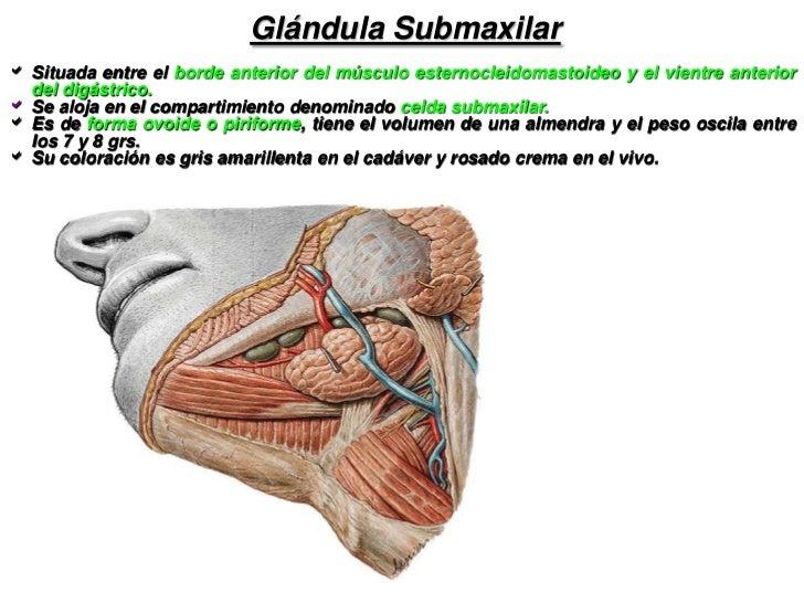 Lujoso Anatomía De La Glándula Submandibular Elaboración - Anatomía ...