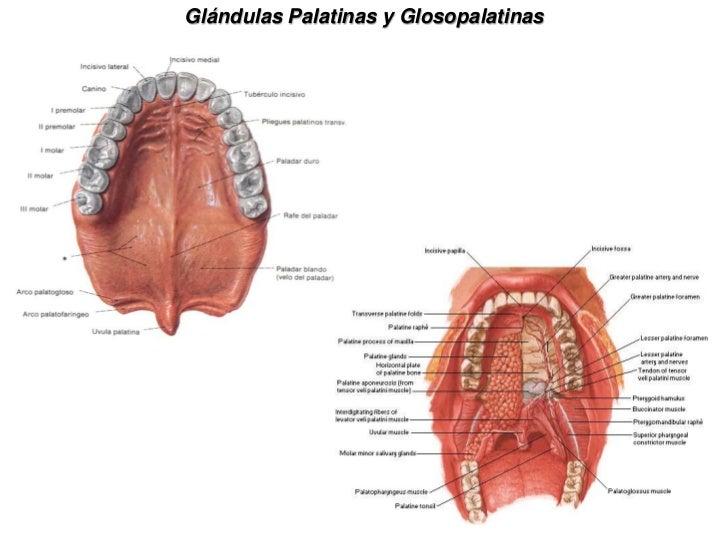 Lujoso Glándulas Salivales Anatomía Friso - Anatomía y Fisiología ...