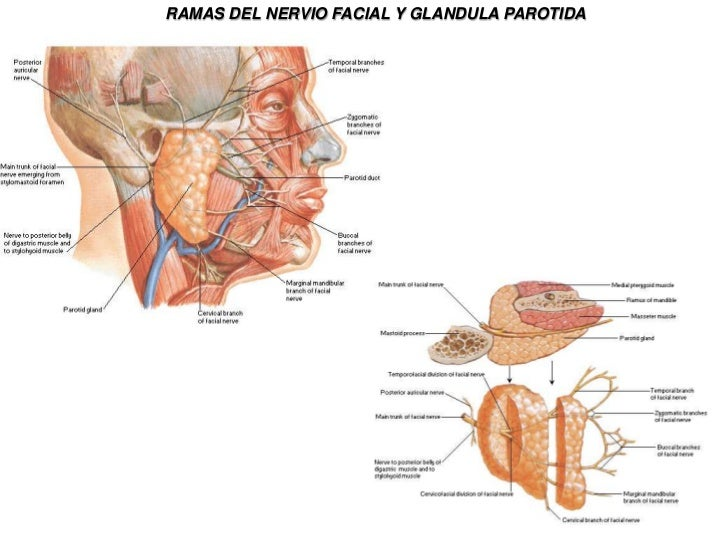 Hermosa Anatomía De La Glándula Salival Submandibular Regalo ...