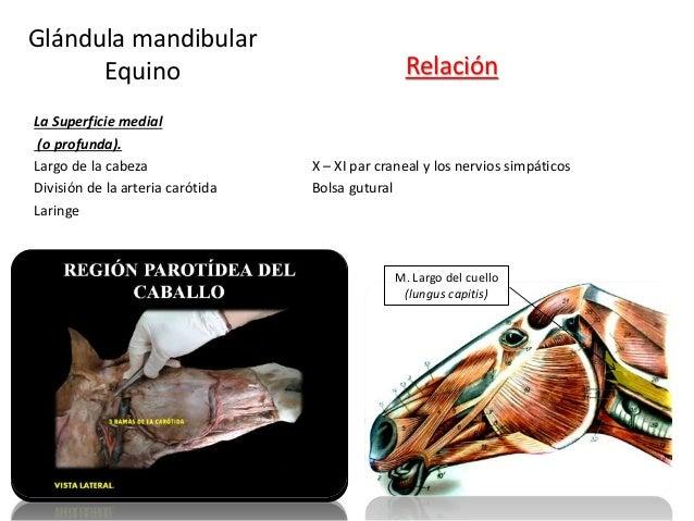 La Superficie medial (o profunda). Largo de la cabeza X – XI par craneal y los nervios simpáticos División de la arteria c...