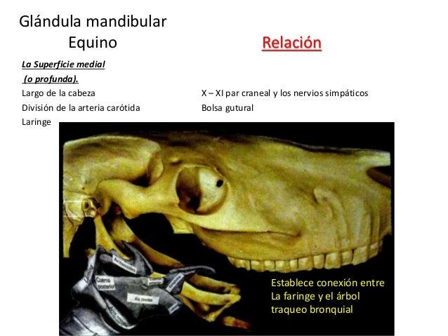 Establece conexión entre La faringe y el árbol traqueo bronquial Relación Glándula mandibular Equino La Superficie medial ...