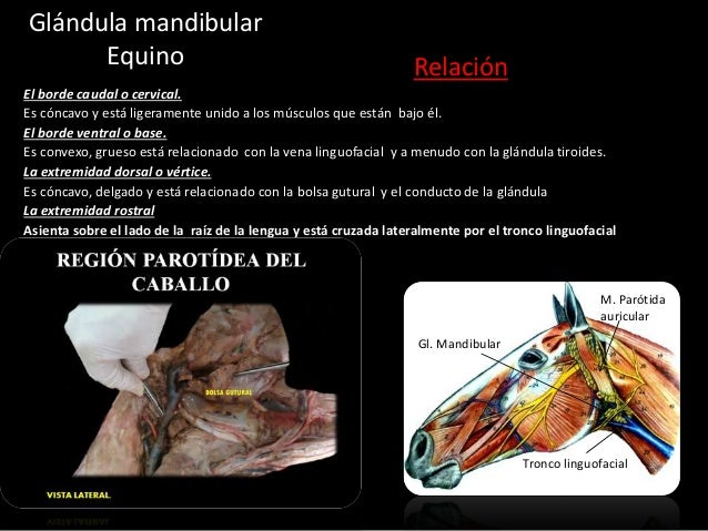 Glándula mandibular Equino Relación El borde caudal o cervical. Es cóncavo y está ligeramente unido a los músculos que est...
