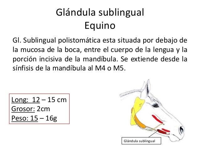Glándula sublingual Equino Gl. Sublingual polistomática esta situada por debajo de la mucosa de la boca, entre el cuerpo d...