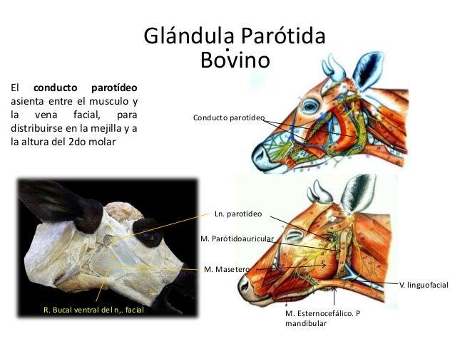 . M. Parótidoauricular V. linguofacial M. Esternocefálico. P mandibular M. Masetero Ln. parotídeo R. Bucal ventral del n,....
