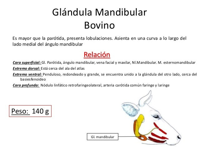 Glándula Mandibular Bovino Es mayor que la parótida, presenta lobulaciones. Asienta en una curva a lo largo del lado media...