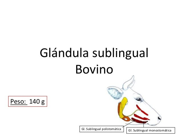 Glándula sublingual Bovino Peso: 140 g Gl. Sublingual polistomática Gl. Sublingual monostomática