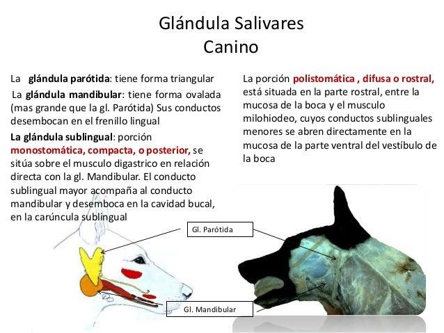 Glándula Salivares Canino Gl. Mandibular Gl. Parótida La glándula parótida: tiene forma triangular La glándula mandibular:...