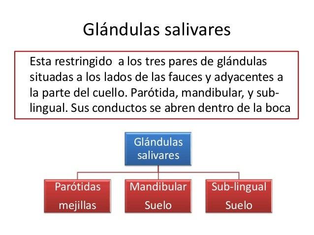 Glándulas salivares Esta restringido a los tres pares de glándulas situadas a los lados de las fauces y adyacentes a la pa...