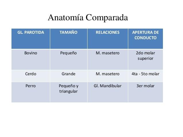 Anatomía Comparada GL. PAROTIDA TAMAÑO RELACIONES APERTURA DE CONDUCTO Bovino Pequeño M. masetero 2do molar superior Cerdo...