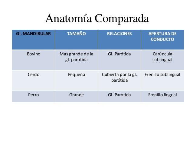 Anatomía Comparada Gl. MANDIBULAR TAMAÑO RELACIONES APERTURA DE CONDUCTO Bovino Mas grande de la gl. parótida Gl. Parótida...
