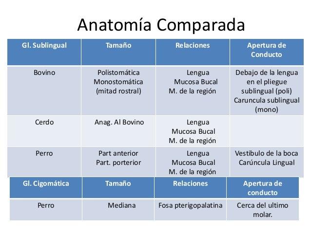 Anatomía Comparada Gl. Sublingual Tamaño Relaciones Apertura de Conducto Bovino Polistomática Monostomática (mitad rostral...