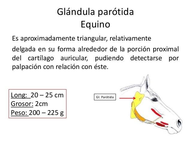 Glándula parótida Equino Es aproximadamente triangular, relativamente delgada en su forma alrededor de la porción proximal...