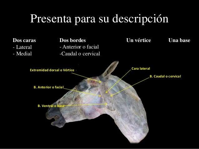 Presenta para su descripción Dos bordes - Anterior o facial -Caudal o cervical Un vértice Una baseDos caras - Lateral - Me...