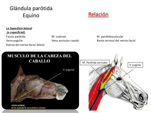 La Superficie lateral (o superficial). Fascia parótida M. cutáneo M. parótidoauricular Vena yugular Vena auricular caudal ...