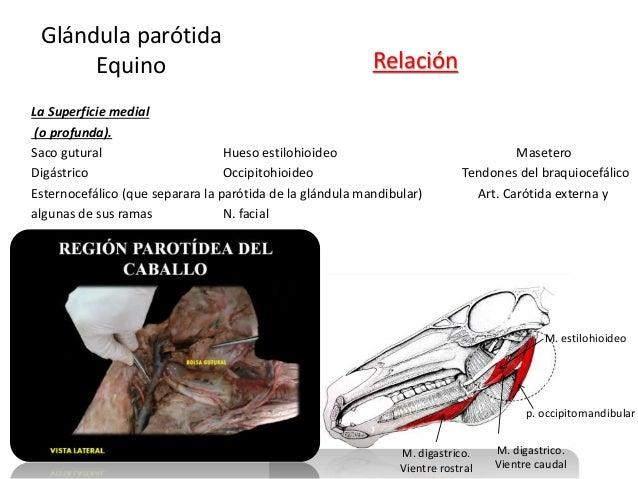 La Superficie medial (o profunda). Saco gutural Hueso estilohioideo Masetero Digástrico Occipitohioideo Tendones del braqu...