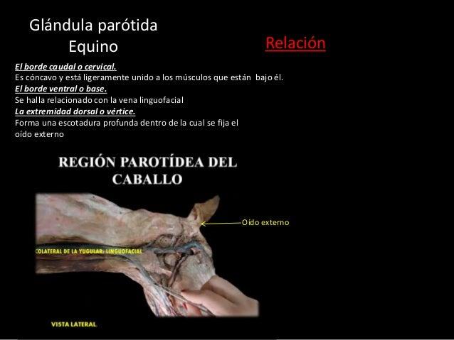 El borde caudal o cervical. Es cóncavo y está ligeramente unido a los músculos que están bajo él. El borde ventral o base....