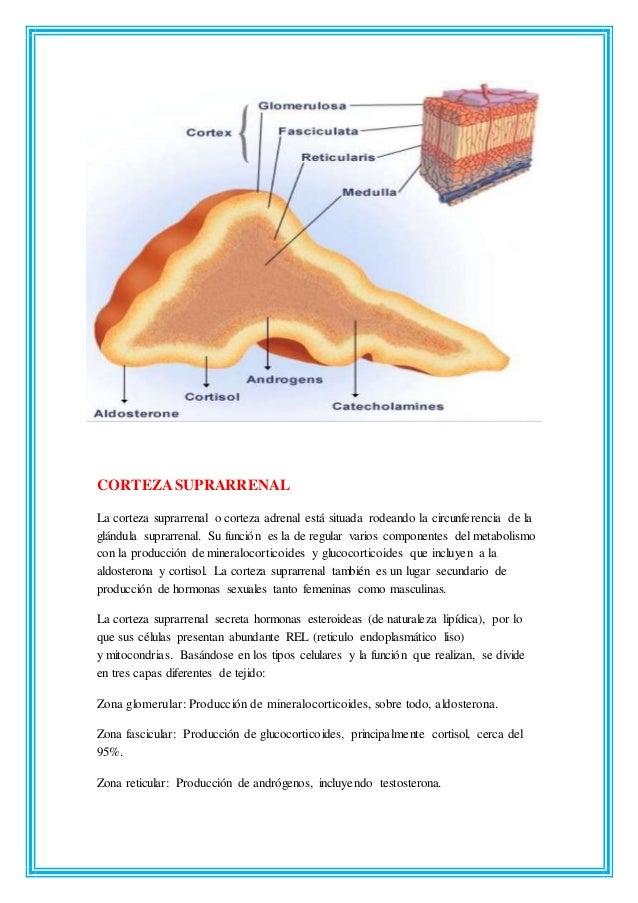 Perfecto La Anatomía Y Fisiología De La Glándula Suprarrenal Regalo ...