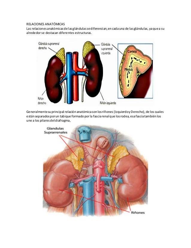 Dorable La Anatomía Y Fisiología De La Glándula Suprarrenal ...