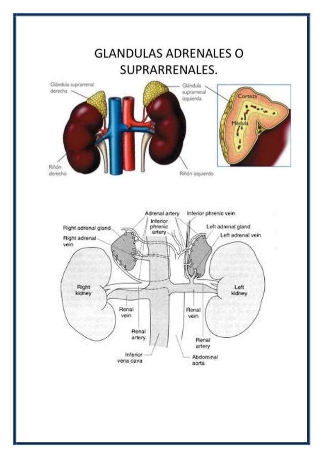 Glandulas suprarrenales y malformaciones congenitas