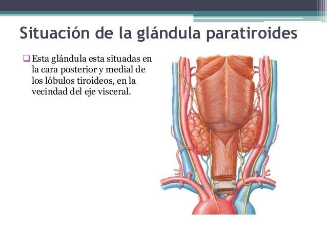 Glandulas tiroides y paratiroides