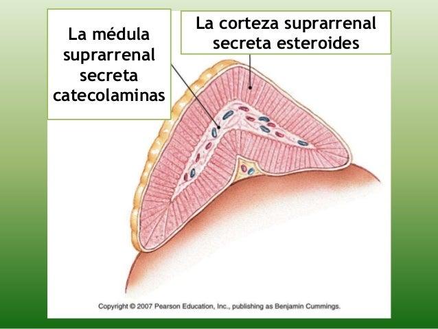esteroides mineralocorticoides y glucocorticoides