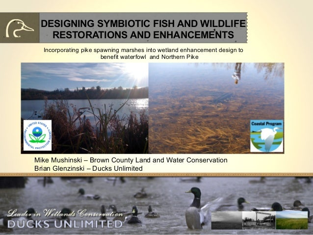 DESIGNING SYMBIOTIC FISH AND WILDLIFE RESTORATIONS AND ENHANCEMENTS Incorporating pike spawning marshes into wetland enhan...
