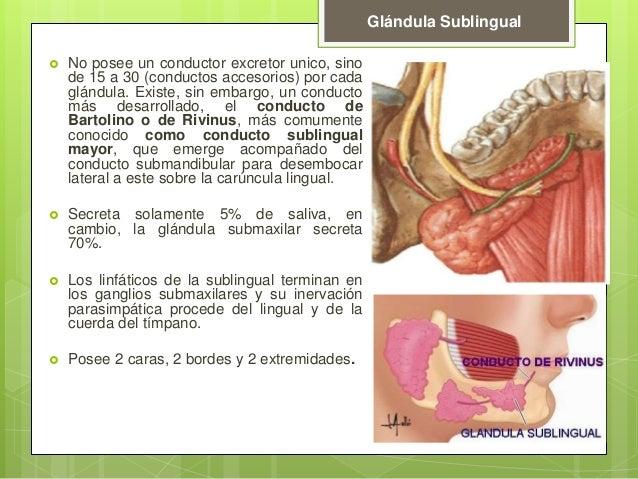 Glándula sublingual anatomia