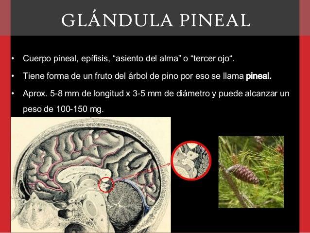 Glándula pineal Slide 2