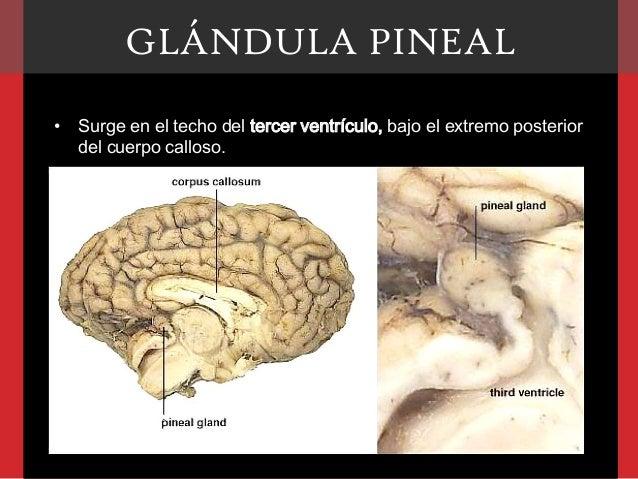 Glándula pineal Slide 3
