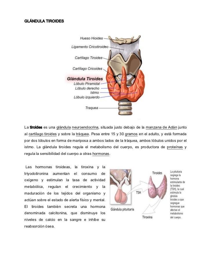 GLÁNDULA TIROIDES<br />La tiroides es una glándula neuroendocrina, situada justo debajo de la manzana de Adán junto al car...